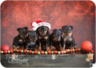 Miniature Pinscher Puppy for adoption in Vandalia, Illinois - Baby Min Pins