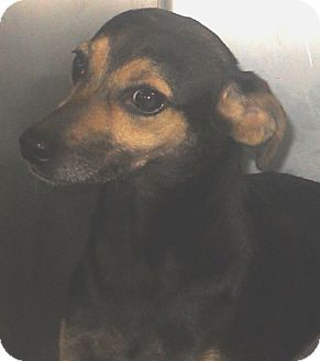 Terrier (Unknown Type, Medium) Mix Dog for adoption in Belvidere, Illinois - Twylight *SPONSORED*
