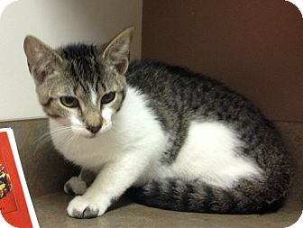 Domestic Shorthair Kitten for adoption in Morehead City, North Carolina - Tigger