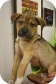 Labrador Retriever/Boxer Mix Puppy for adoption in Homewood, Alabama - Samwyse