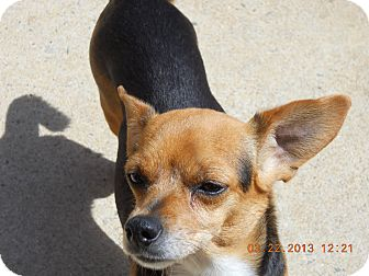 Chihuahua Mix Dog for adoption in Charlotte, North Carolina - Ardy