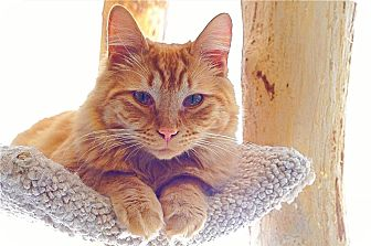 Domestic Mediumhair Cat for adoption in Victor, New York - Pumpkin