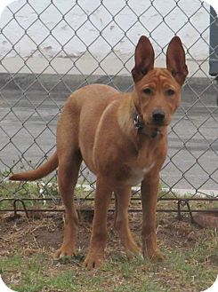 German Shepherd Dog/Irish Setter Mix Puppy for adoption in Torrance, California - GINGER