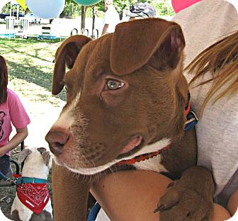 American Pit Bull Terrier Puppy for adoption in Chattanooga, Tennessee - Baby Scrappy