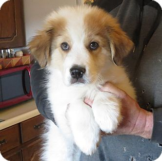 Great Pyrenees Mix Puppy for adoption in Greenville, Rhode Island - Cooper
