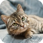 Domestic Shorthair Cat for adoption in Wheaton, Illinois - Crystal