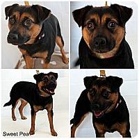 Adopt A Pet :: Sweat Pea - Evansville, IN
