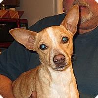 Corgi/Dachshund Mix Puppy for adoption in Westport, Connecticut - Sammy