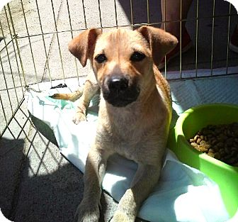 Dachshund/Terrier (Unknown Type, Small) Mix Puppy for adoption in North Hollywood, California - Scout