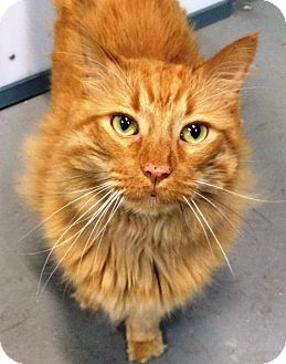 Domestic Longhair Cat for adoption in Fruit Heights, Utah - Snickers