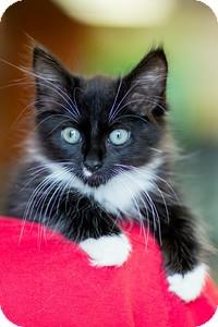 Domestic Mediumhair Kitten for adoption in River Edge, New Jersey - Sambuca