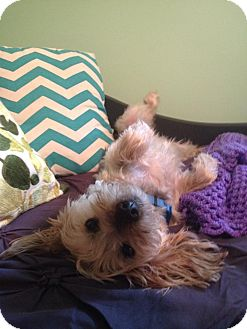 Yorkie, Yorkshire Terrier Mix Dog for adoption in Troy, Michigan - Carter