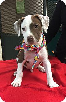 American Bulldog/Hound (Unknown Type) Mix Puppy for adoption in Glastonbury, Connecticut - Hank