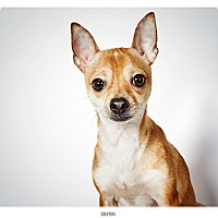 Adopt A Pet :: Dexter - New York, NY