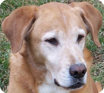 Golden Retriever Mix Dog for adoption in Cary, North Carolina - Cooper--ADOPTED