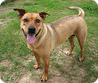 Labrador Retriever Mix Dog for adoption in Murphysboro, Illinois - Shirley