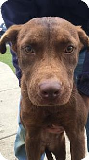 Staffordshire Bull Terrier/Labrador Retriever Mix Dog for adoption in Princeton, Kentucky - CoCo