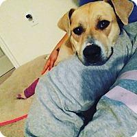 Adopt A Pet :: Honey - Holmes Beach, FL