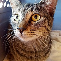 Domestic Shorthair Cat for adoption in Tucson, Arizona - Fabulous Fiona