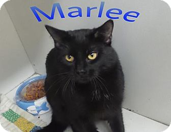 Domestic Shorthair Cat for adoption in Crown Point, Indiana - Marlee