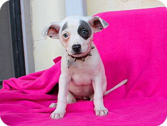 Basenji/Pit Bull Terrier Mix Puppy for adoption in Los Angeles, California - Damsel