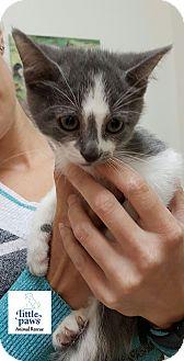 Domestic Shorthair Kitten for adoption in Hamilton, Ontario - Tessa
