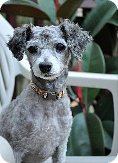 Poodle (Toy or Tea Cup) Dog for adoption in Elk River, Minnesota - NINA
