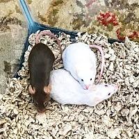 Adopt A Pet :: Dorothy, Glinda &Elphaba - Grand Rapids, MI