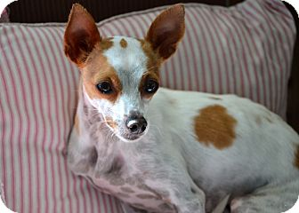 Chihuahua/Whippet Mix Dog for adoption in Okeechobee, Florida - Freckles