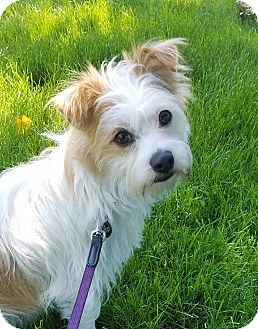 Shih Tzu/Terrier (Unknown Type, Small) Mix Puppy for adoption in Lynnwood, Washington - CUDDLES-ADOPTED