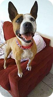 American Bulldog Mix Dog for adoption in Ft. Lauderdale, Florida - Princess
