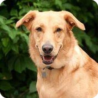 Retriever (Unknown Type)/Shepherd (Unknown Type) Mix Dog for adoption in Chicago, Illinois - Jersey - FEE SPONSORED BY BARKWORTHIES!