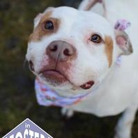 American Pit Bull Terrier Mix Dog for adoption in Ann Arbor, Michigan - Pebbles