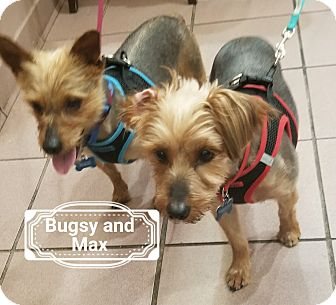 Yorkie, Yorkshire Terrier Mix Dog for adoption in Las Vegas, Nevada - Bugsy bonded with Max