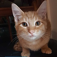 Adopt A Pet :: Lapis - South Bend, IN