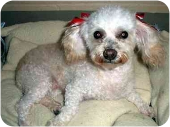 Poodle (Toy or Tea Cup) Dog for adoption in Los Angeles, California - VIOLETTA