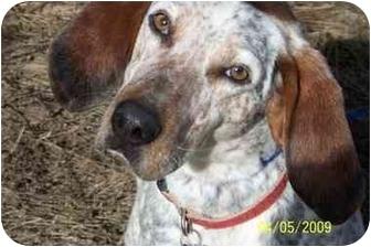 Bluetick Coonhound Dog for adoption in Hayden, Idaho - Ducie