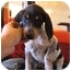 Photo 2 - Bluetick Coonhound/Treeing Walker Coonhound Mix Puppy for adoption in Hayden, Idaho - Hugo