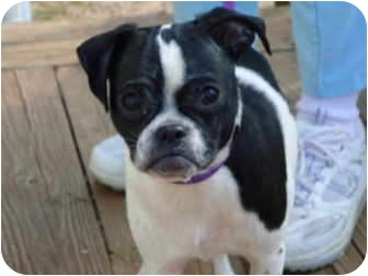 Pug/Boston Terrier Mix Dog for adoption in Plainfield, Connecticut - Zorro