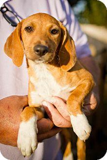 Beagle Mix Puppy for adoption in Winston-Salem, North Carolina - Caprica