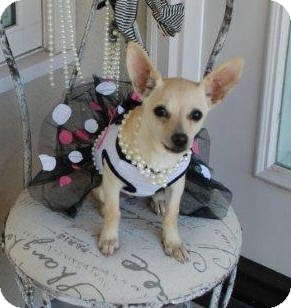 Chihuahua/Fox Terrier (Toy) Mix Puppy for adoption in Irvine, California - Star