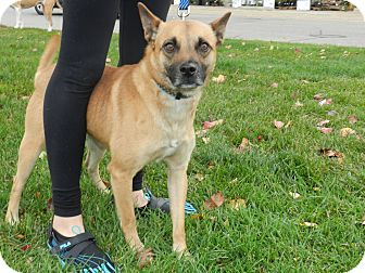 Feist Mix Dog for adoption in Birmingham, Michigan - Winston