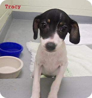 Rat Terrier Mix Puppy for adoption in Slidell, Louisiana - Tracy