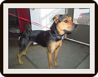 Rottweiler Mix Dog for adoption in Medford, Wisconsin - HAILEY