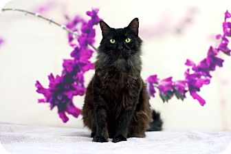 Domestic Longhair Cat for adoption in Houston, Texas - Tender Heart