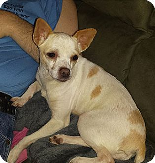 Chihuahua Dog for adoption in Spring City, Tennessee - Lil Bit