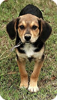 Beagle/German Shepherd Dog Mix Puppy for adoption in Harrisonburg, Virginia - Ethan
