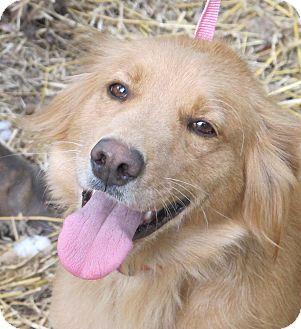 Golden Retriever/Spaniel (Unknown Type) Mix Dog for adoption in Allentown, Pennsylvania - Christmas Lily