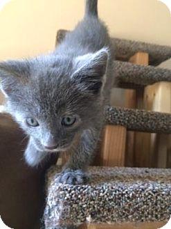 Domestic Shorthair Kitten for adoption in Des Moines, Iowa - Christian