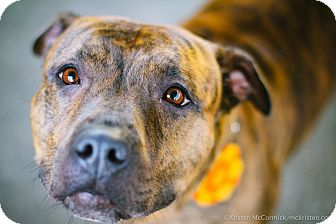 American Pit Bull Terrier Mix Dog for adoption in Seattle, Washington - Jillybean